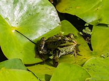 池蛙坐叶子 库存照片