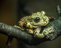池蛙坐在黑暗的背景的一个树枝 免版税库存照片