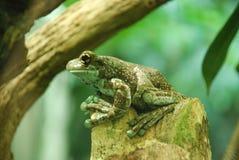 池蛙坐岩石 库存照片
