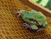 池蛙坐空的蜡蜂房 库存图片