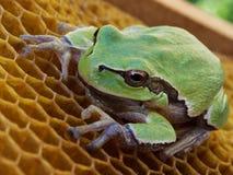 池蛙坐空的蜡蜂房 库存照片