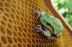 池蛙坐空的蜡蜂房 免版税库存图片
