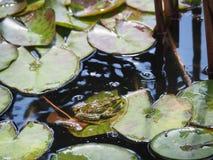 池蛙坐莲花叶子 免版税库存照片