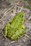池蛙本质上 库存图片