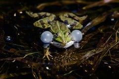 池蛙正面图与气球的 库存图片
