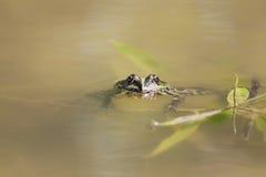 池蛙游泳在黏附他的面孔的水中 图库摄影