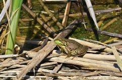 池蛙,男性,与在繁殖的季节期间的黄色喉头 图库摄影