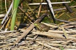 池蛙,男性,与在繁殖的季节期间的黄色喉头 免版税库存图片