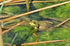 池蛙,男性,与在繁殖的季节期间的黄色喉头 库存图片
