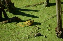 池蛙,男性,与在繁殖的季节期间的黄色喉头 免版税图库摄影