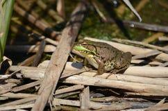 池蛙,男性,与在繁殖的季节期间的黄色喉头 免版税库存照片