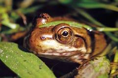池蛙-蛙属clamitans 免版税库存照片