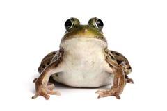 池蛙(蛙属Clamitans) 免版税库存图片