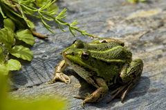 池蛙 免版税库存图片
