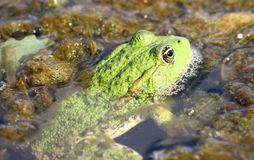 池蛙 免版税库存照片