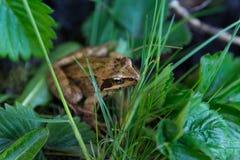 池蛙 库存照片