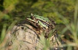 池蛙 免版税图库摄影