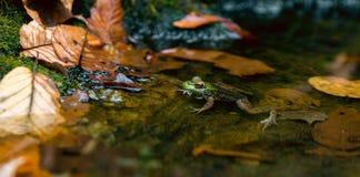 池蛙Lithobates clamitans在它的自然生态环境 免版税图库摄影