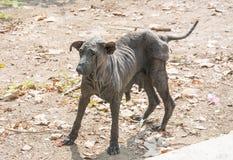 污秽的狗和无毛 免版税图库摄影