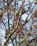 汤姆山雀cyanistes caeruleus在树的分支栖息 免版税库存图片