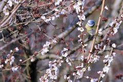 汤姆山雀cyanistes caeruleus在树的分支栖息 库存图片