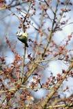 汤姆山雀cyanistes caeruleus在树的分支栖息 免版税图库摄影