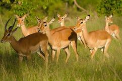 汤姆生的瞪羚牧群在马塞语玛拉,肯尼亚的 免版税库存照片
