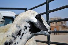 汽车母羊 免版税图库摄影