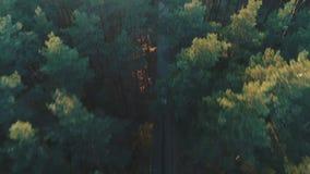 汽车鸟瞰图在具球果森林里乘坐 股票视频