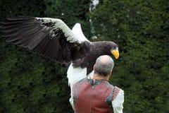 沃里克,英国- 2017年9月17日:有他的Stellers Se的一个以鹰狩猎者 库存图片
