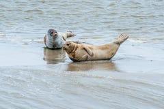 沃登海被保护的封印 免版税库存图片