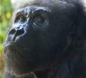 沉思的猩猩 库存照片