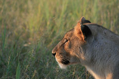 沉思的雌狮 库存照片