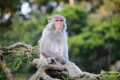 沉思猴子坐树 免版税库存照片