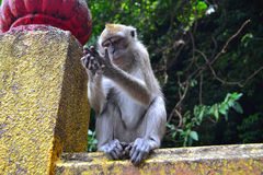 沉思猴子 免版税库存图片