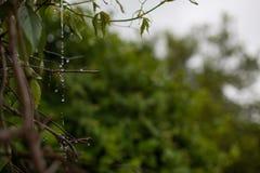 阴沉的天空和雨水水滴从分支 图库摄影