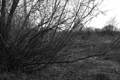阴沉的杨柳树丛 图库摄影