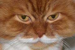 阴沉的猫` s眼睛 恼怒的红色猫 库存图片