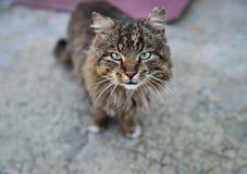 沉着的野生猫 库存照片