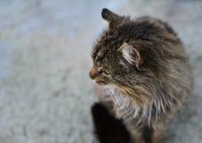 沉着的野生猫 免版税库存图片