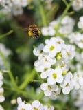 沉重收集了花蜜蝇入它的蜂房的蜂 免版税库存图片