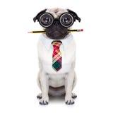 沉默寡言的疯狂的狗 免版税图库摄影