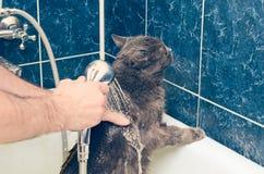沐浴一只灰色猫在卫生间 库存图片