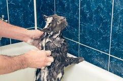 沐浴一只灰色猫在卫生间 免版税图库摄影