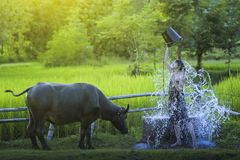 沐浴与水牛的妇女 图库摄影
