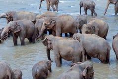 沐浴在河的大象在斯里兰卡 免版税库存照片