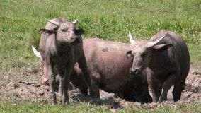 沐浴在泥的泰国水牛家庭  股票录像