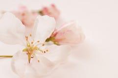 沐浴在浅粉红色的山楂子开花 库存照片