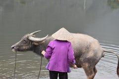 沐浴水牛的越南妇女的特写镜头在工作,越南,河内以后 免版税库存图片