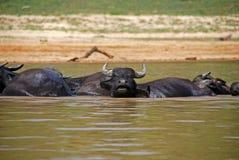 沐浴马来西亚taman negara的oxes 免版税库存照片